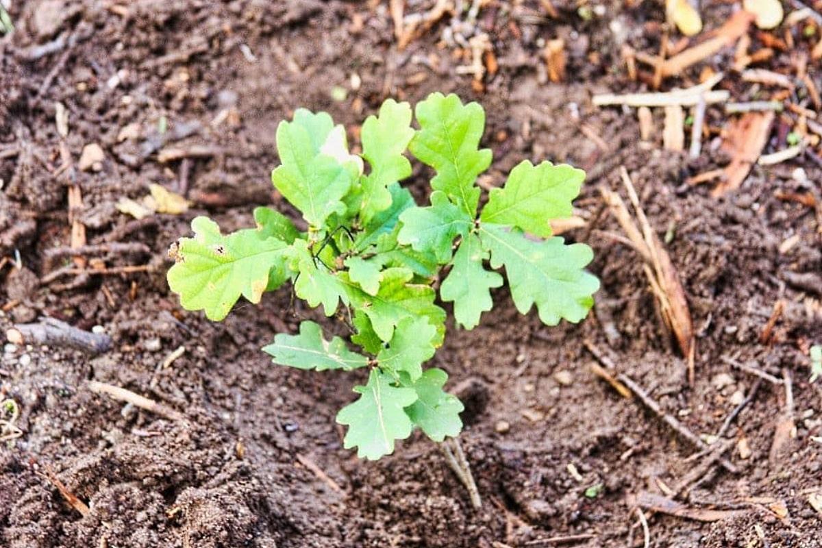 Frisch gepflanzte Eiche, Beispielbild. Foto: L-IZ.de