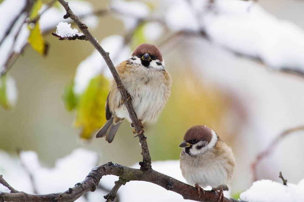 """Welchen Platz Feldsperlinge wohl bei der """"Stunde der Wintervögel"""" 2021 belegen? Bei der vergangenen Zählung war es Platz 3. Foto: Bärbel Franzke"""