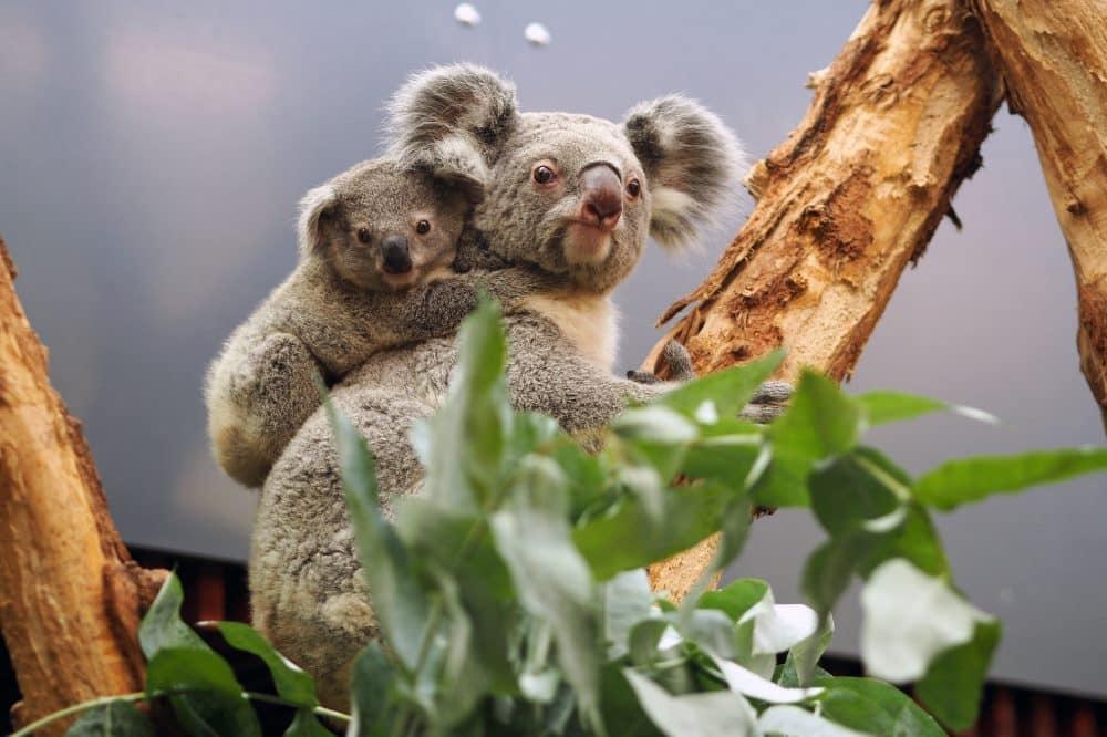 Koalaweibchen Mandie mit Sohn Bouddi © Zoo Lepzig