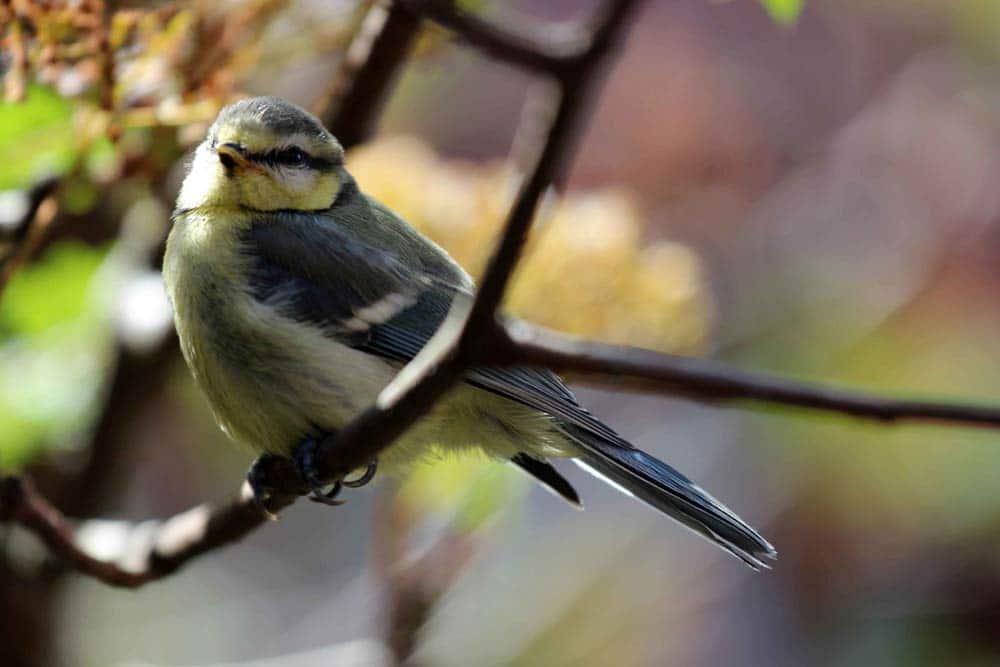 Auch die Kohlmeise (Parus major) trägt dazu bei: Laut Studie steigern zehn Prozent mehr Vogelarten im Umfeld das Glücksempfinden mindestens genauso stark wie ein vergleichbarer Einkommenszuwachs. Foto: Stefan Bernhardt