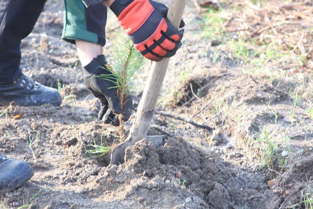 Die Setzlinge werden im Frühjahr 2021 am Störmthaler See gepflanzt. Foto: L-IZ