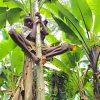 Ein BaYaka-Junge klettert auf einen Papayabaum, um Früchte zu ernten. Foto: Sarah Pope