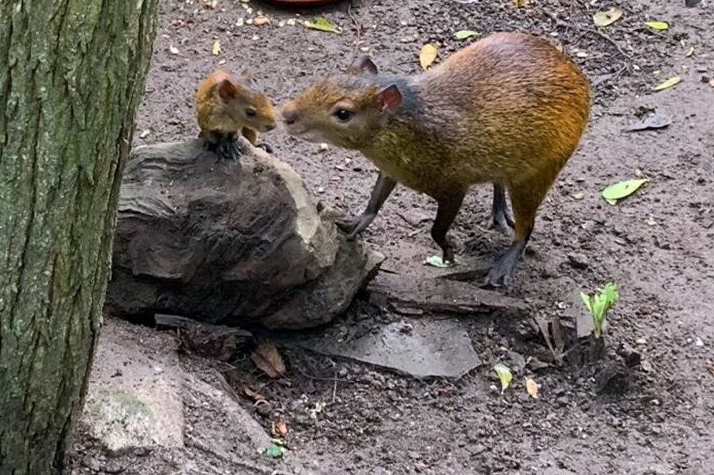 Schwarzrueckenaguti-Jungtier © Zoo-Leipzig