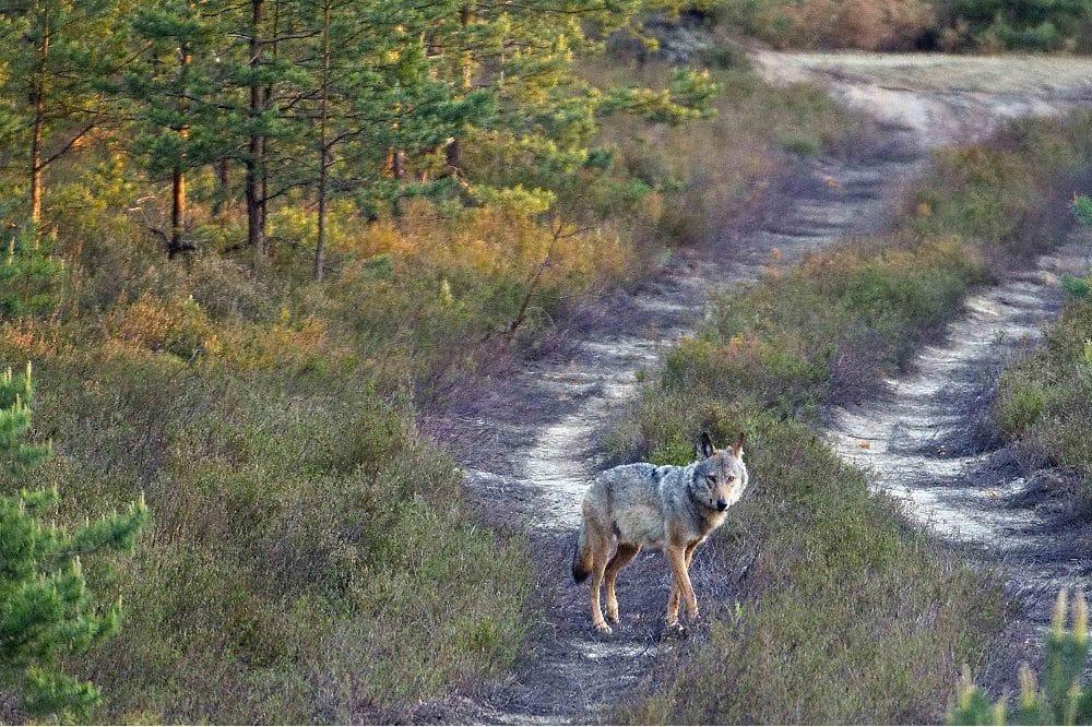 Symbolbild Wolfsrüde auf Wanderschaft © LfULG, Archiv Naturschutz, A. Gomille