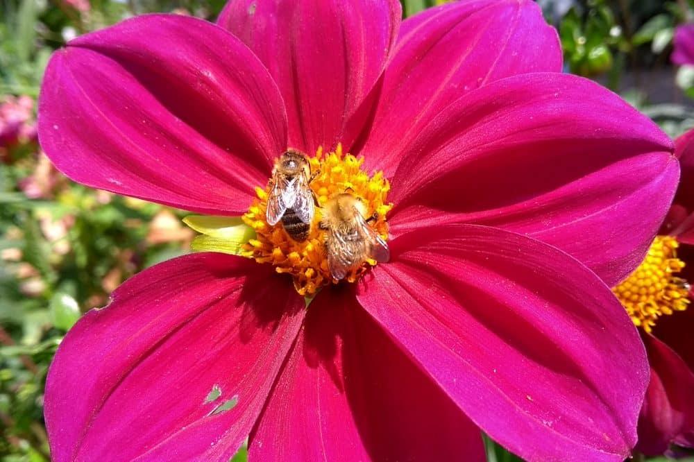Eine Honigbiene (links) und eine Ackerhummel sitzen auf einer Blüte. Foto: Delphine Panziera