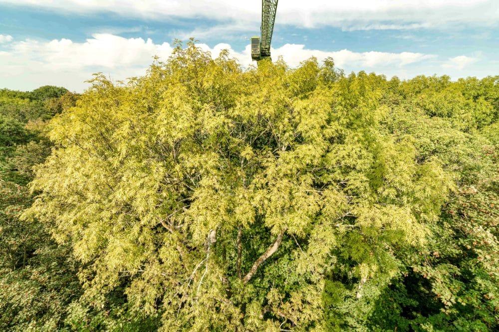 Esche vor dem Auwaldkran im Naturschutzgebiet Burgaue. Quelle: André Künzelmann/UFZ
