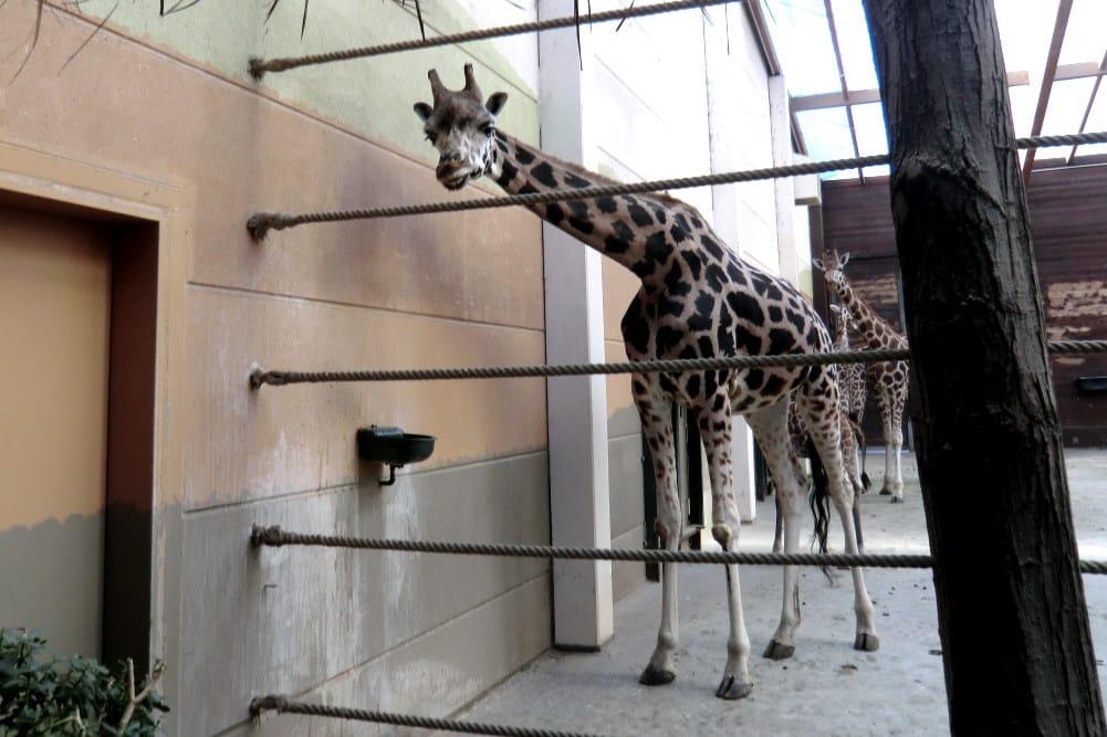 Giraffen im Leipziger Zoo. Foto: Marko Hofmann