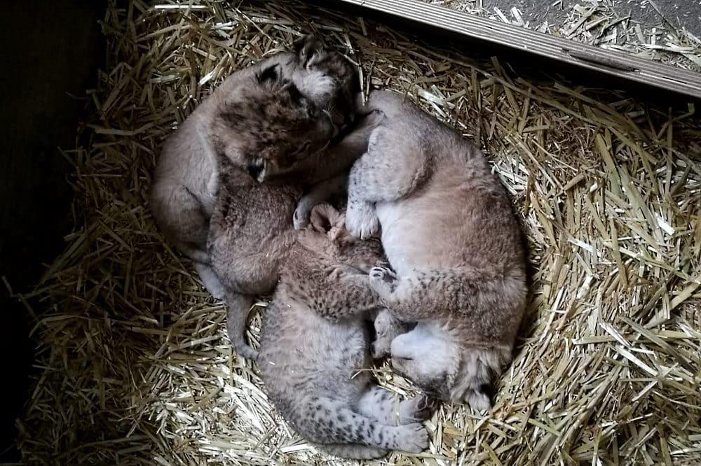 Jungtiere in der Wurfbox © Zoo Leipzig