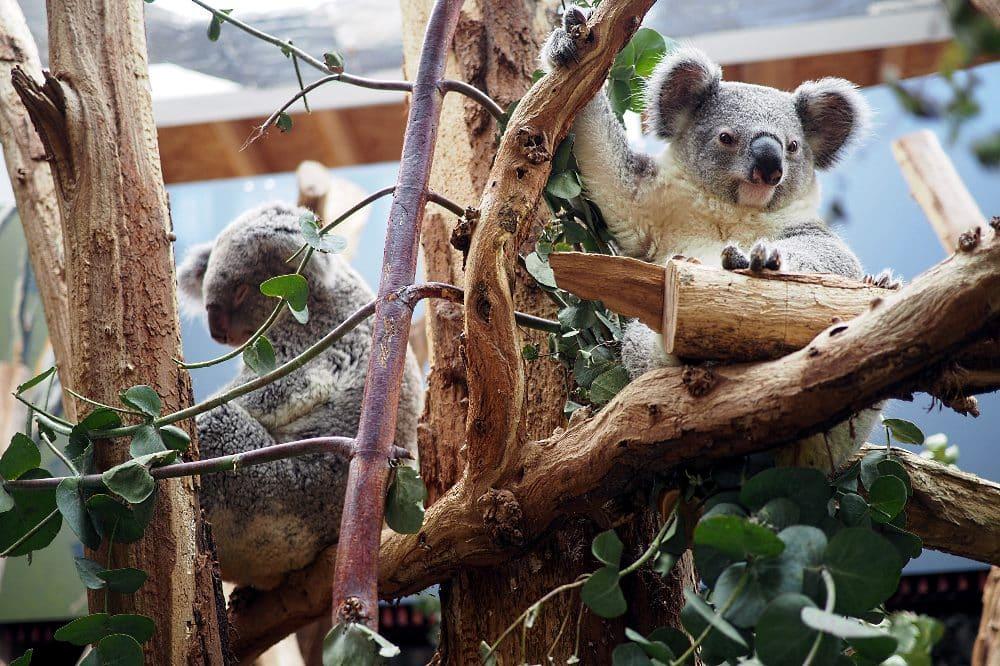 Koalajungtier Bouddi mit Mutter Mandie (l) © Zoo Leipzig