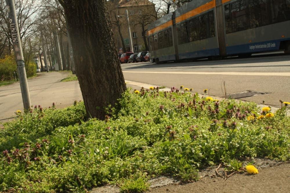 So grün können Baumscheiben aussehen. Foto: NABU Leipzig