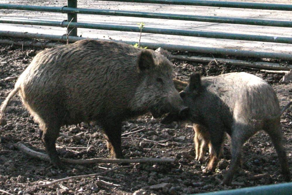 Wildschweine. Archivfoto: Ralf Julke
