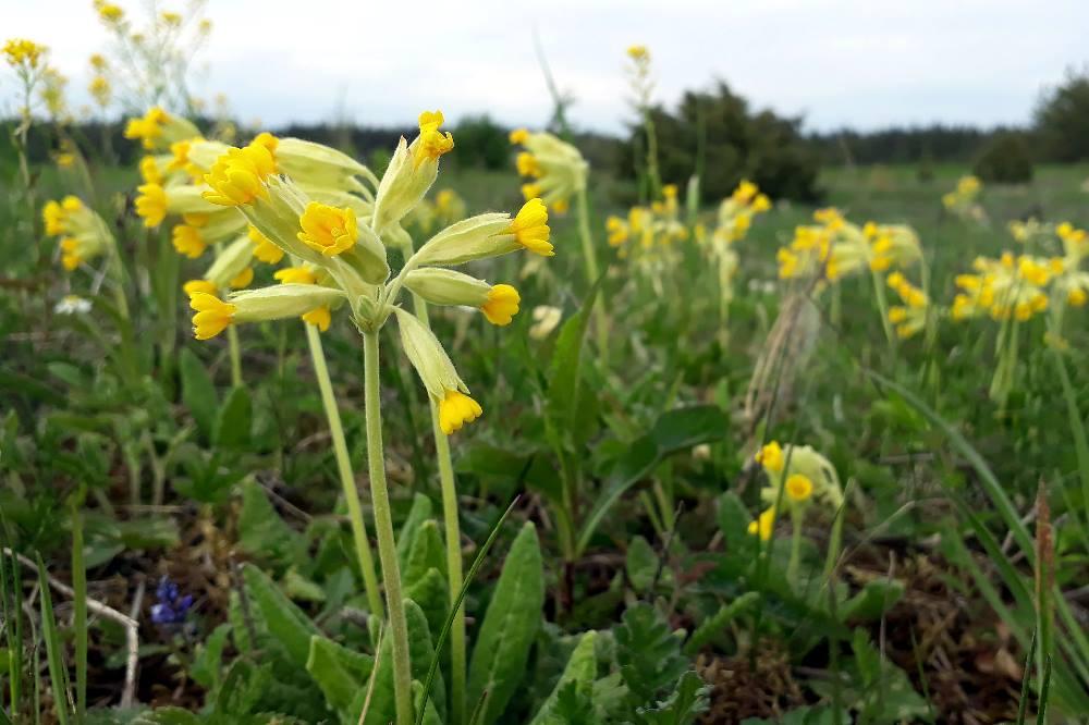 Die Echte Schlüselblume ist Gegenstand des neuen Bürgerforschungsprojekts. Foto: Tsipe Aavik