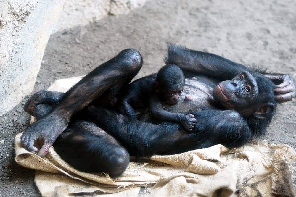 Bonoboweibchen Luiza mit ihrer Tochter © Zoo Leipzig