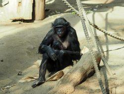 Bonoboweibchen Luiza mit ihrer Tochter Gerda © Zoo Leipzig