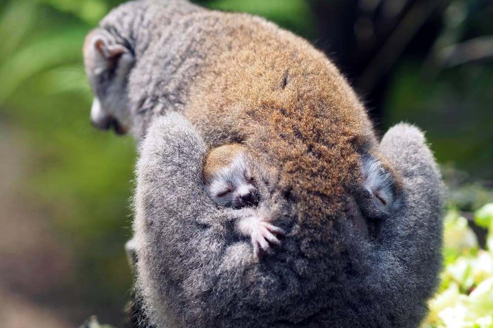 Kronenmakizwillinge Dylan und Daria mit Mutter Amber © Zoo Leipzig