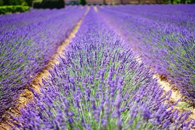 Lavendel – Grundbaustein in der Parfumerie. Foto: Hans Braxmeier / pixabay
