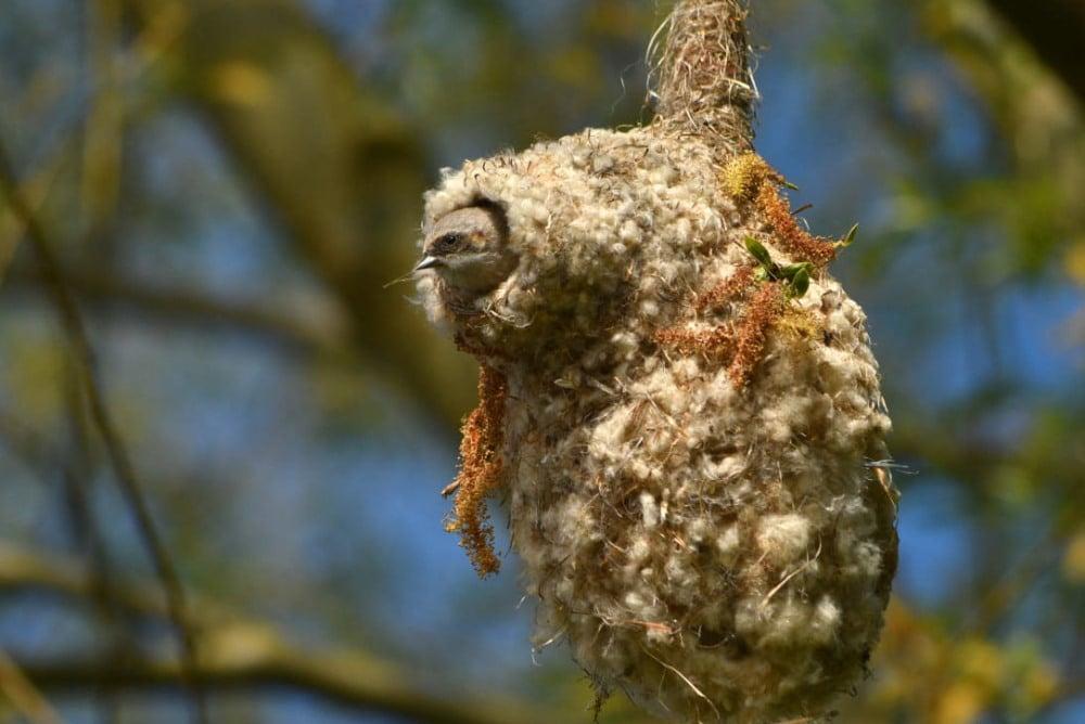 In Deutschland vom Aussterben bedroht: Beutelmeise in ihrem namensgebenden Nest, fotografiert am Werbeliner See. Foto: Erik Eckstein