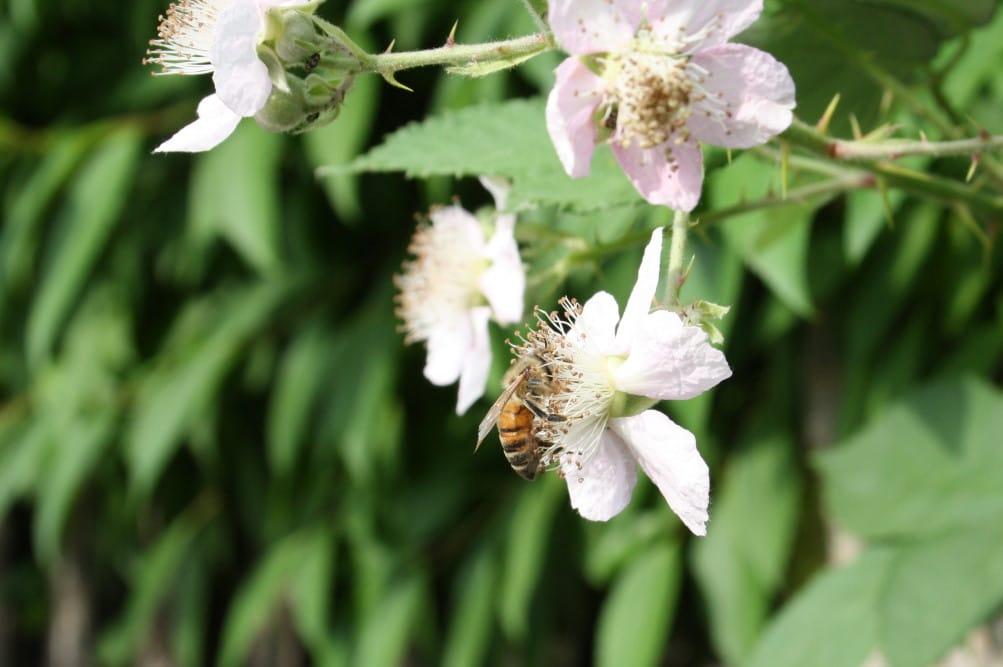 Biene bei der Arbeit. Foto: Ralf Julke