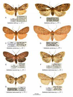 Die vier Arten (jeweils männlich und weiblich) der Gattung Setteleia. Foto: Zoological Studies