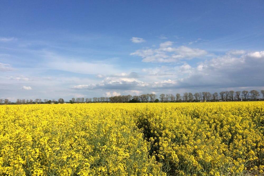 Schön gelb - aber monoton: Rapsfeld bei Leipzig. Foto: LZ