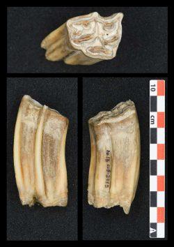 Hochkronige Pferdezähne – wie dieser, der aus den unteren Schichten der Höhlenstratigraphie der Bacho-Kiro-Höhle geborgen wurde – wurden auf die Sauerstoffisotopenzusammensetzung des Zahnschmelzes hin untersucht, um Sommer- und Wintertemperaturen während des Lebens dieses Tieres zu rekonstruieren. Foto: MPI-EVA/ Sarah Pederzani